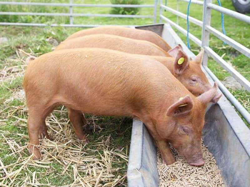 pig animal feed processing steps